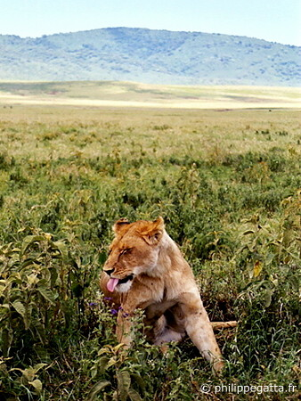 Lions in Ngorongoro Crater (© P. Gatta)