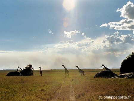 Giraffes in Serengeti National Park (© P. Gatta)
