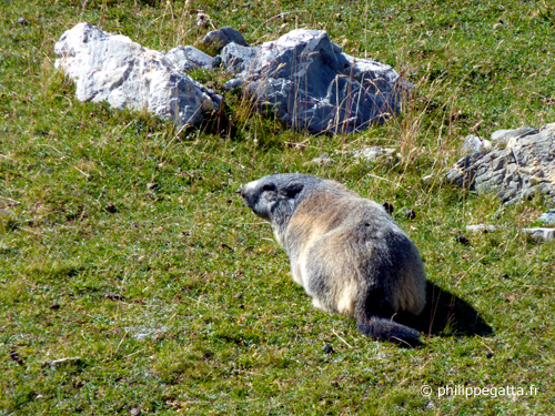 A marmot of the way to the Col de Crousette (© P. Gatta)