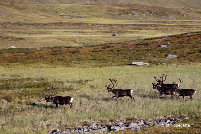 Herd of reindeer above Salka huts (� P. Gatta)