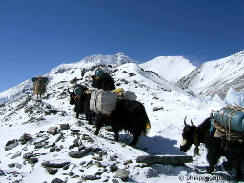Yaks on the way to Advanced Base Camp, Everest behind (© P. Gatta)