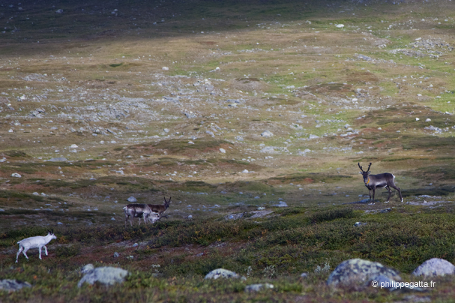 Early mornings rewards you with meetings with the herds of reindeers (© P. Gatta)